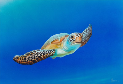 Steven Muldoon Sea Turtle in Flight
